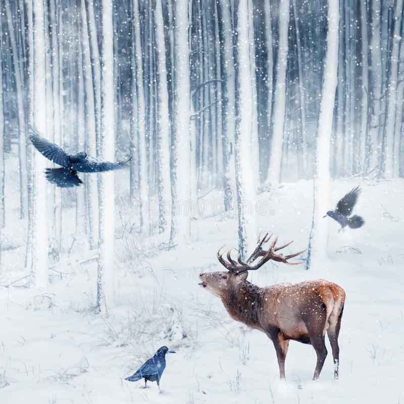 Red deer and crows in the winter snowy forest. Artistic winter image. Winter wonderland. Square picture stock photos