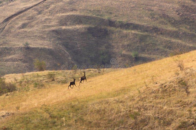 Red deer doe and calf royalty free stock photos