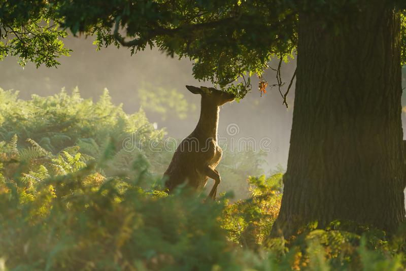 Red deer doe (Cervus elaphus), taken in United Kingdom stock photography
