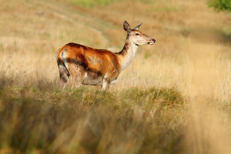 Red deer doe on mountain meadow. Cervus Elaphus stock images