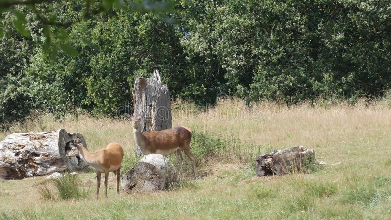 Red deer doe and young buck near ancient trees on a beautiful summer day in England royalty free stock image