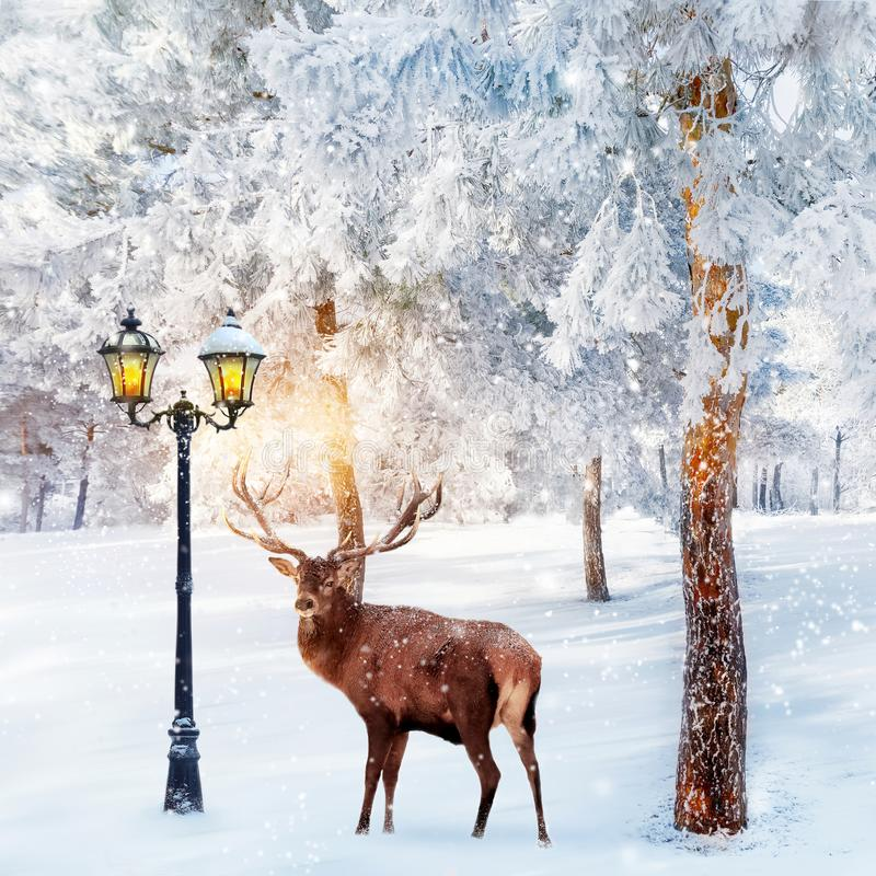 Red deer in a fabulous Christmas forest on a background of snowy trees and a lantern. Composite image. New Year card. Square image royalty free stock images