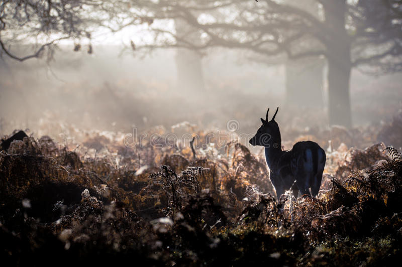 Red Deer. Fallow deer in Richmond park, London royalty free stock photography