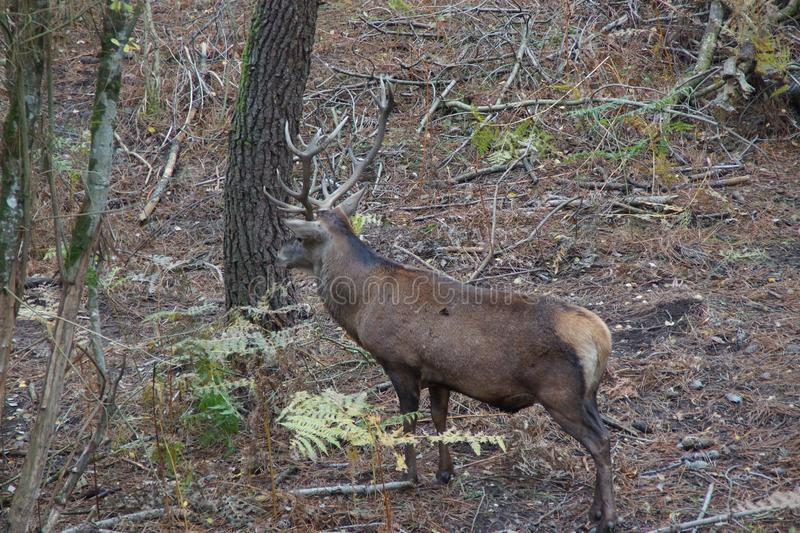 The red deer - Family park, near Poitiers in France. stock photo