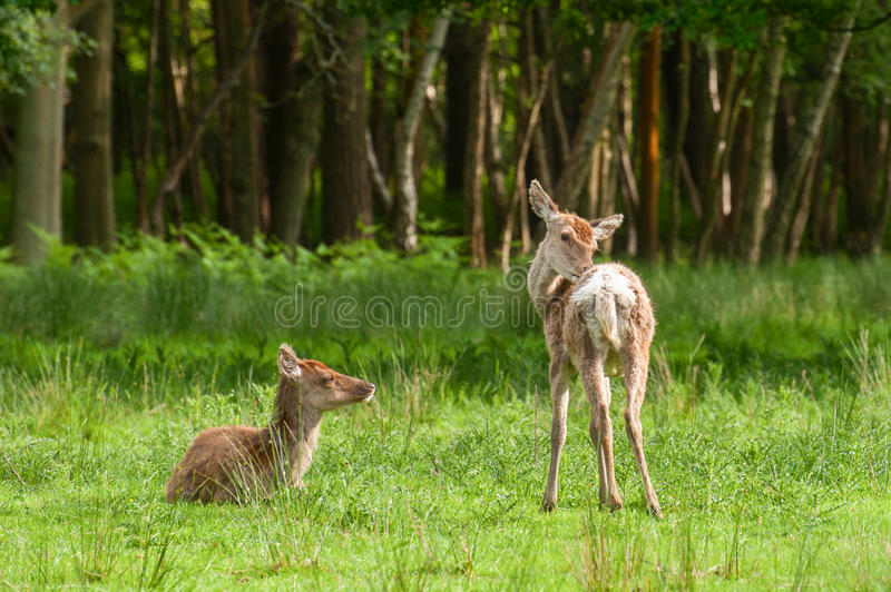 Download Red deer fawns stock image. Image of park, nature, animals - 25257333