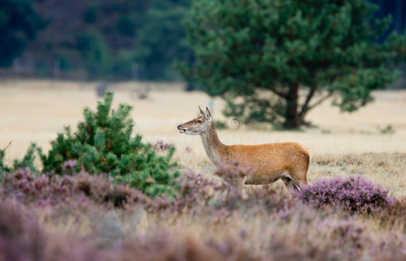 Red deer Female royalty free stock photo
