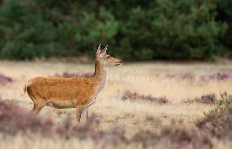 Red deer Female royalty free stock photos