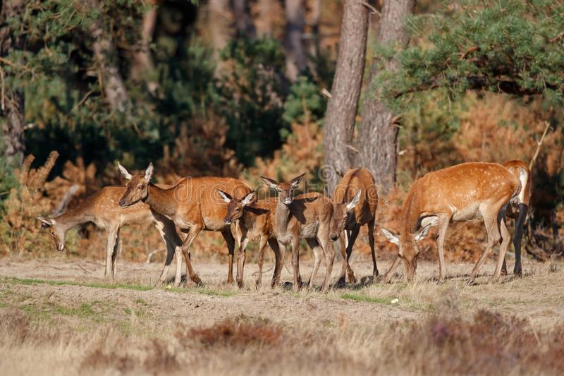 Red deer female and calf in rutting season royalty free stock photography