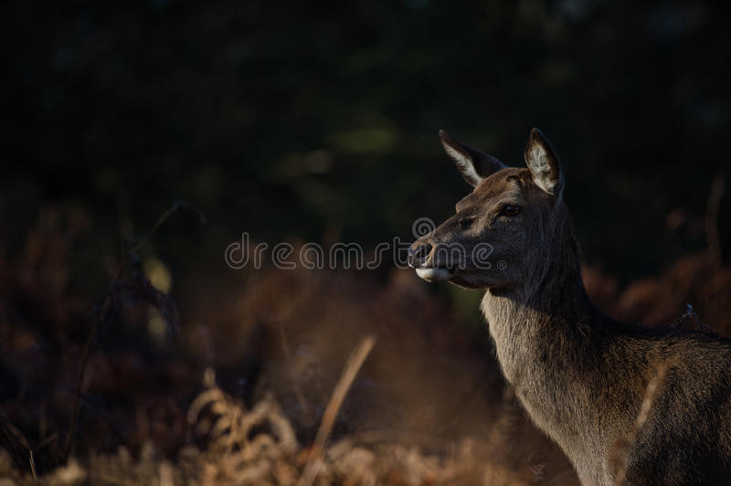 Red Deer. Female Red deer portrait in Richmond park, London royalty free stock images