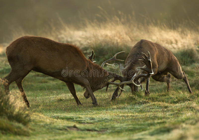Red deer fight during the rut stock images