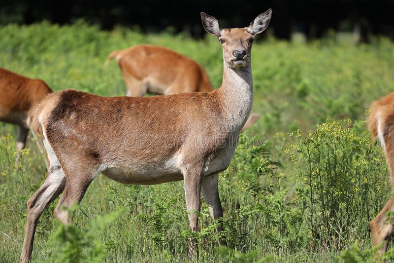 Red deer in the Bushy park, London royalty free stock photo