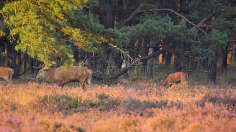 Red Deer grazing stock video footage