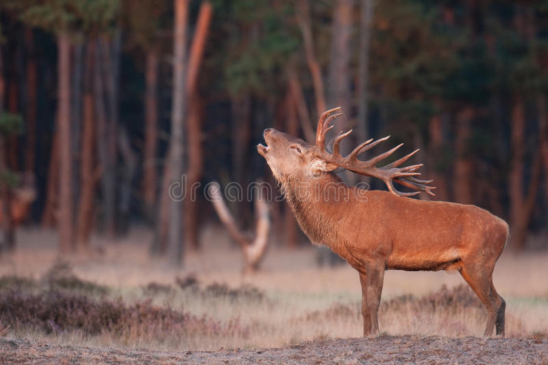 Red Deer grunt. A Red Deer posing in a meadow grunting