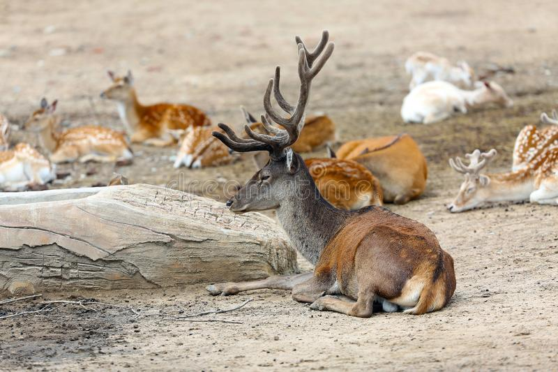 Red deer in the herd. stock photography