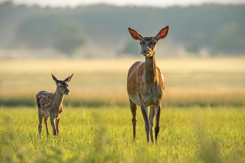 Red deer hind with calf walking at sunset. stock images