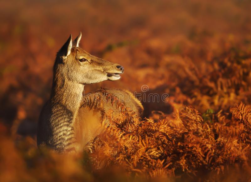 Red deer hind standing in the field of fern in autumn royalty free stock images
