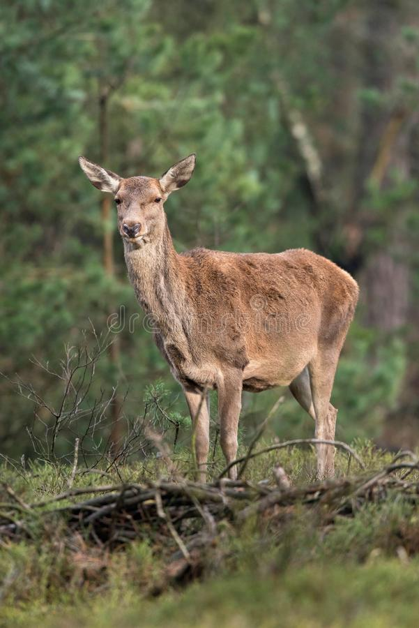 Red deer hind standing on grass in pine forest. royalty free stock images