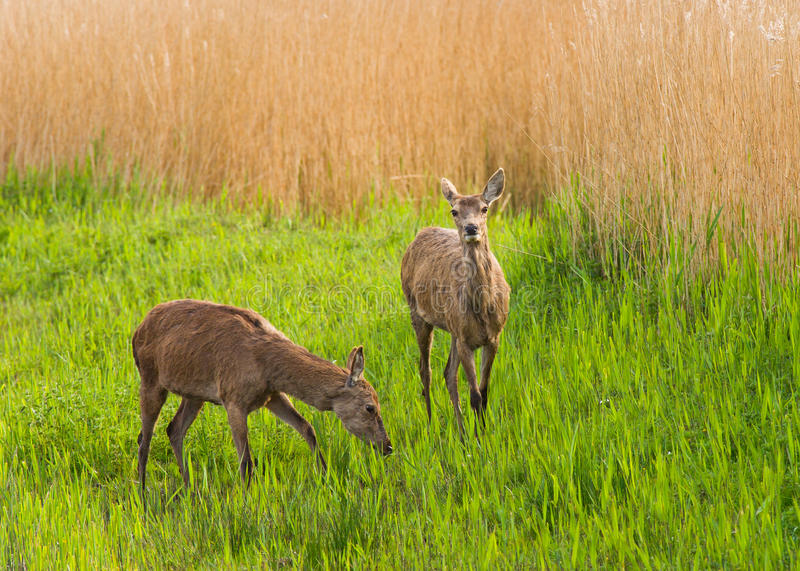 Download Red Deer hinds stock photo. Image of hind, reeds, female - 18544744