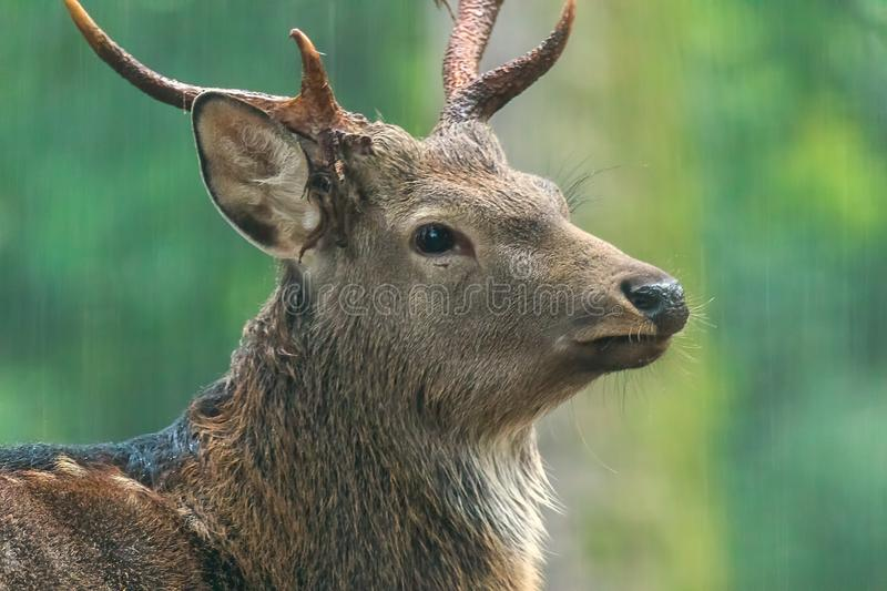 Red deer male. During the meeting time stock image