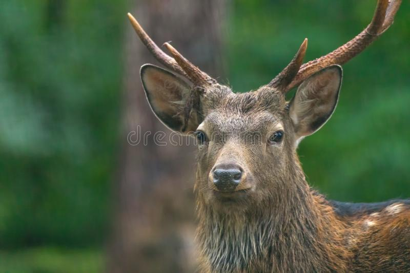 Red deer male. During the meeting time royalty free stock images