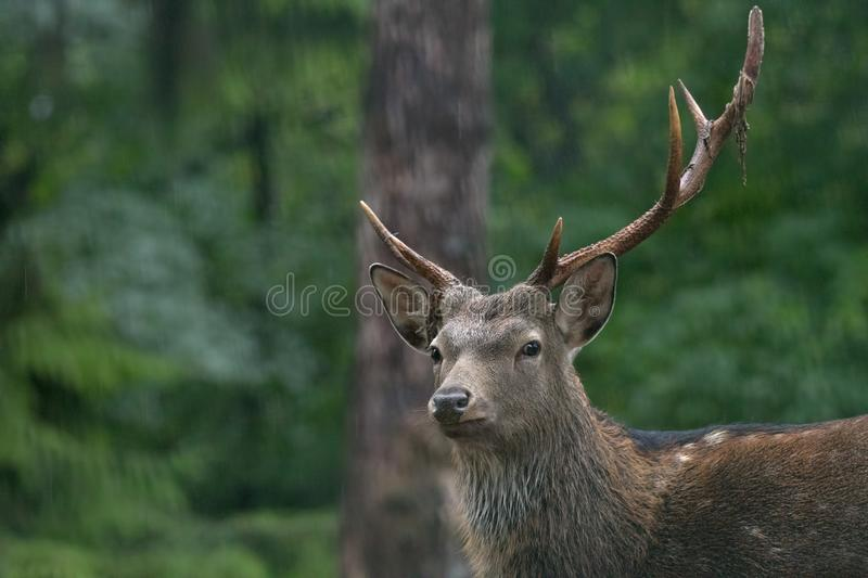 Red deer male. During the meeting time royalty free stock image