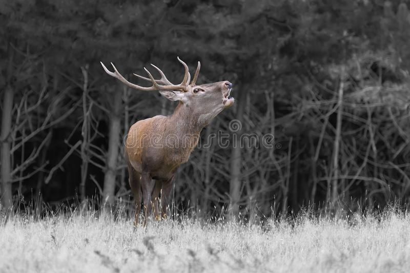 Red deer in mating season royalty free stock images