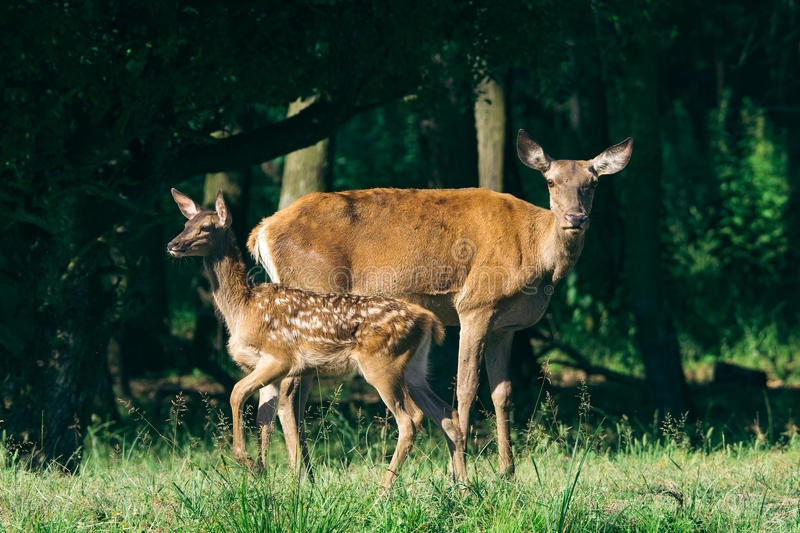 Red Deer mother and calf keeping close together royalty free stock photography