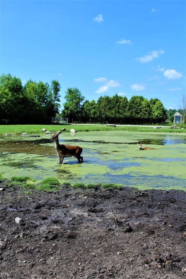 Parc Park Safari, Hemmingford, Quebec, Canada. Red deer, at the Parc Park Safari, located in Hemmingford, Quebec, Canada royalty free stock photos