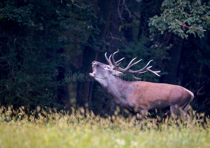 Red deer roaring in forest stock photography