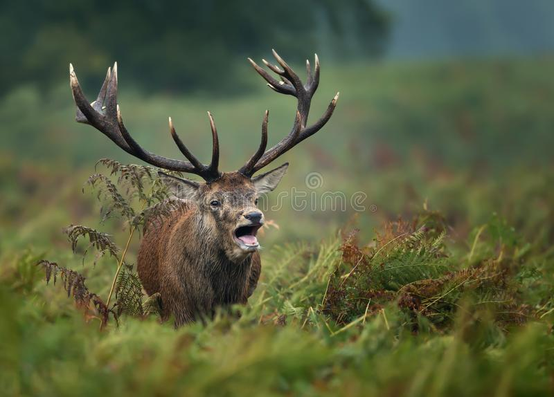 Red deer roaring during rut. Close-up of a Red deer roaring during rut in autumn, UK stock photo