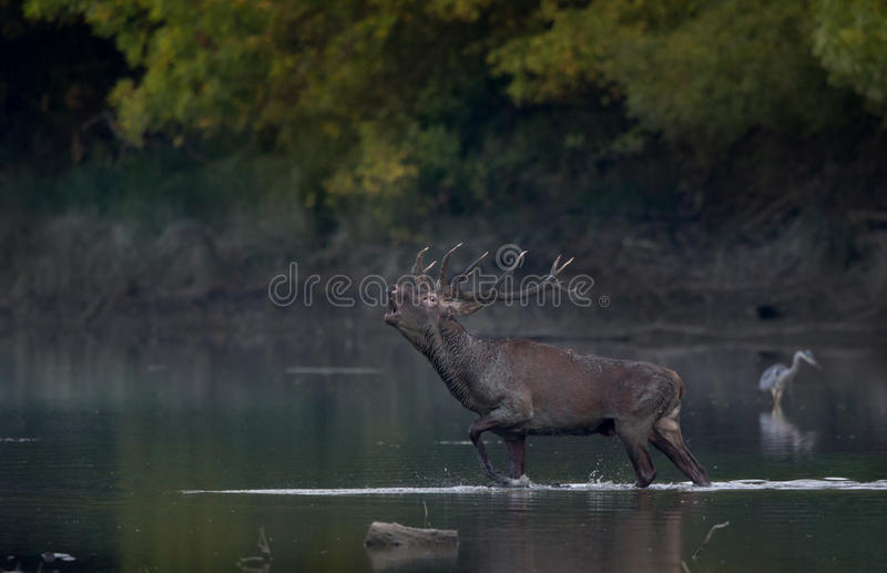 Red deer roaring in water royalty free stock photos