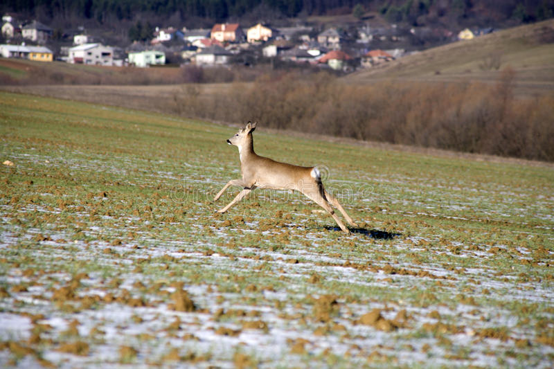 Download Red-deer by the run stock image. Image of acre, winter - 12487345