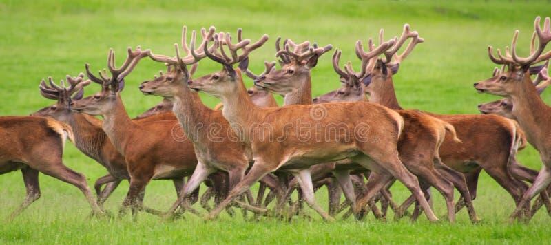 Red deer running stock image