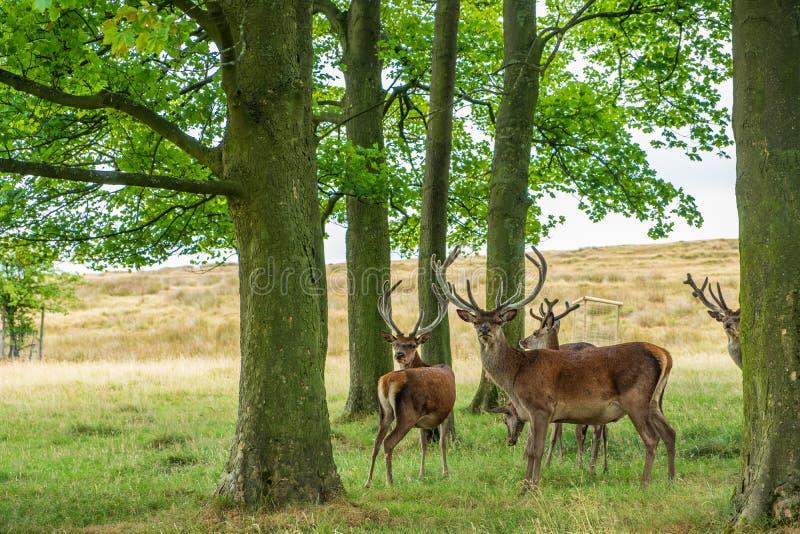 Red Deer in Lyme Park, Peak District in Cheshire, UK. Red Deer in the Red Deer Sanctuary of Lyme Park, Peak District in Cheshire, UK stock images