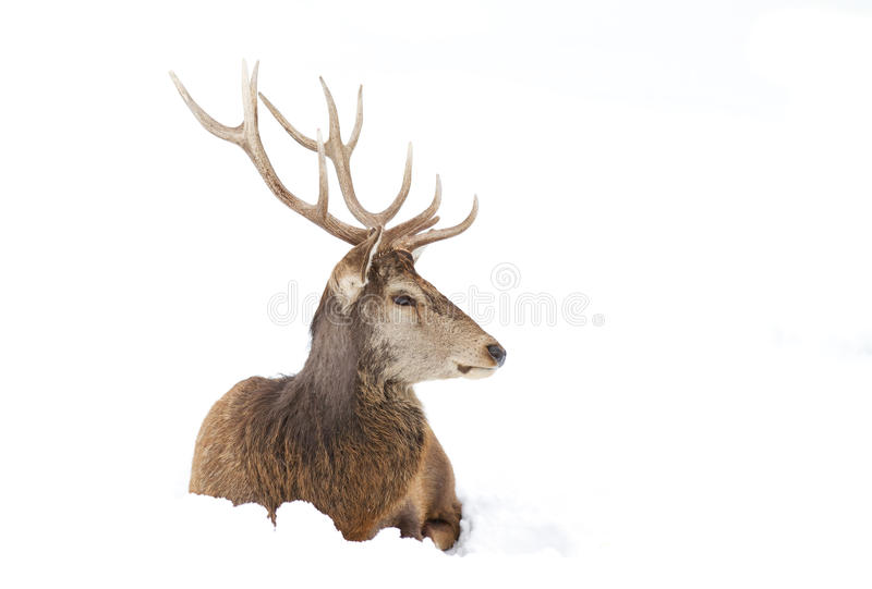 Red deer sitting in the winter snow stock image
