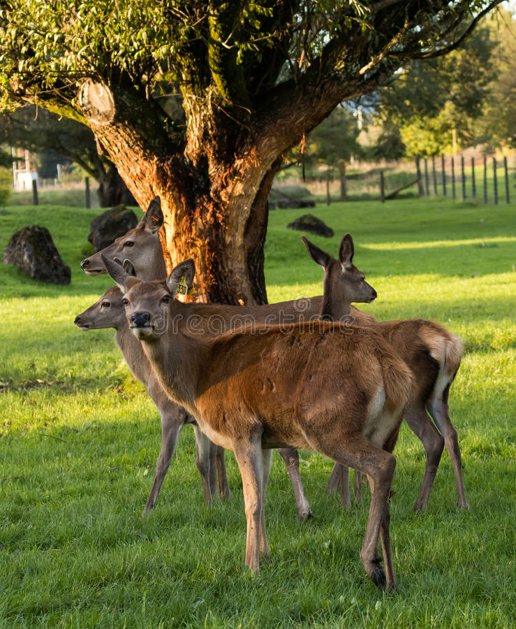 Download Red Deer stock image. Image of livestock, fallow, zealand - 92226153