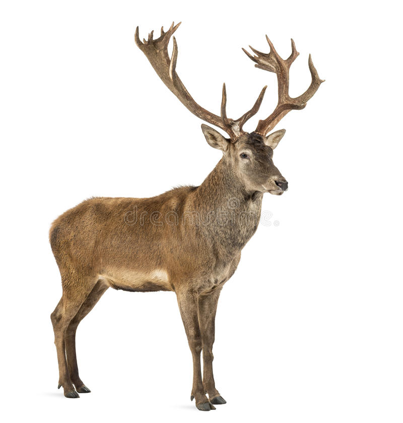 Free Red Deer Stag Royalty Free Stock Images - 60160839