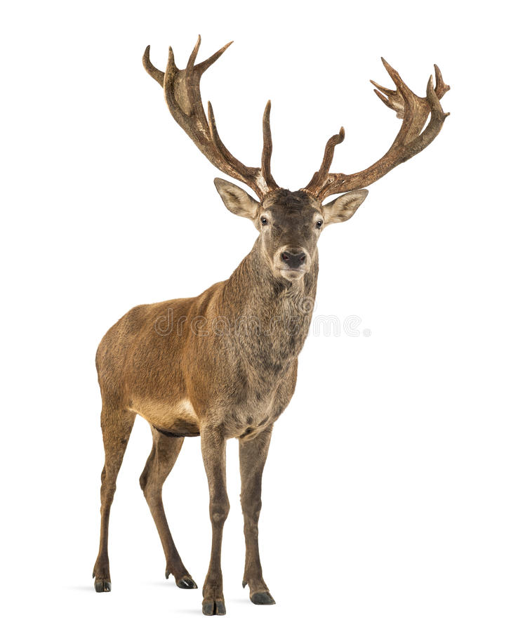 Free Red Deer Stag Royalty Free Stock Photography - 60161517
