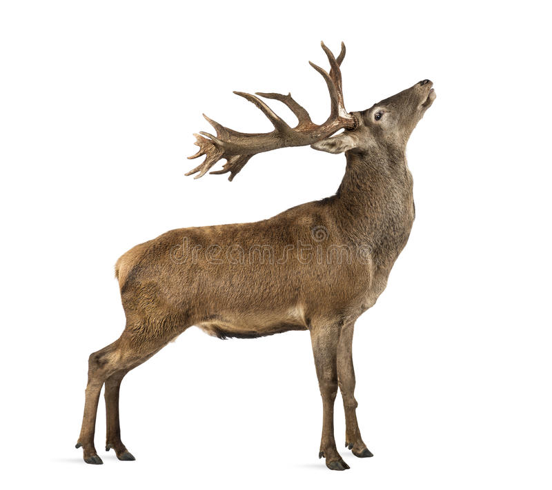 Free Red Deer Stag Royalty Free Stock Photos - 60161748