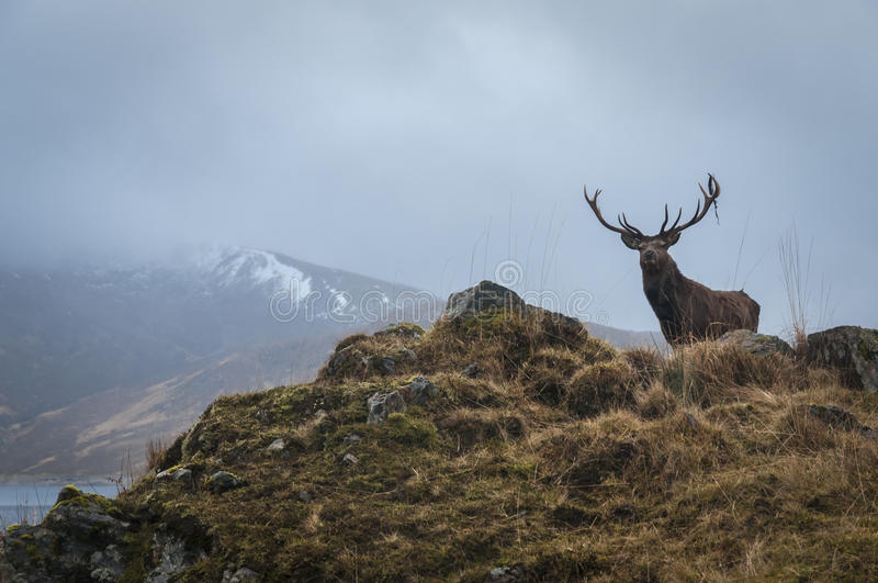 Red Deer Stag and antler dressing, Lochaber, Scotland stock photos