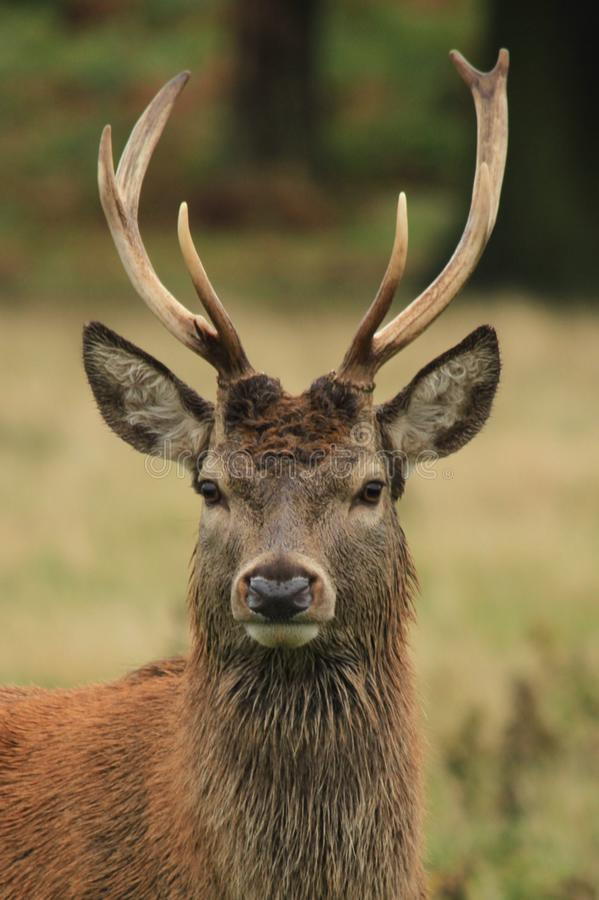 Red deer stag in autumn rain stock photo