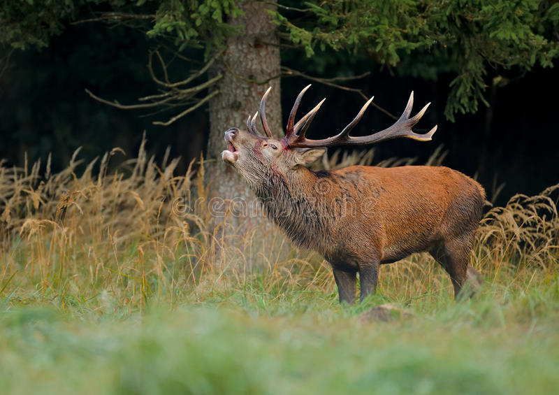 Red deer stag calling royalty free stock image