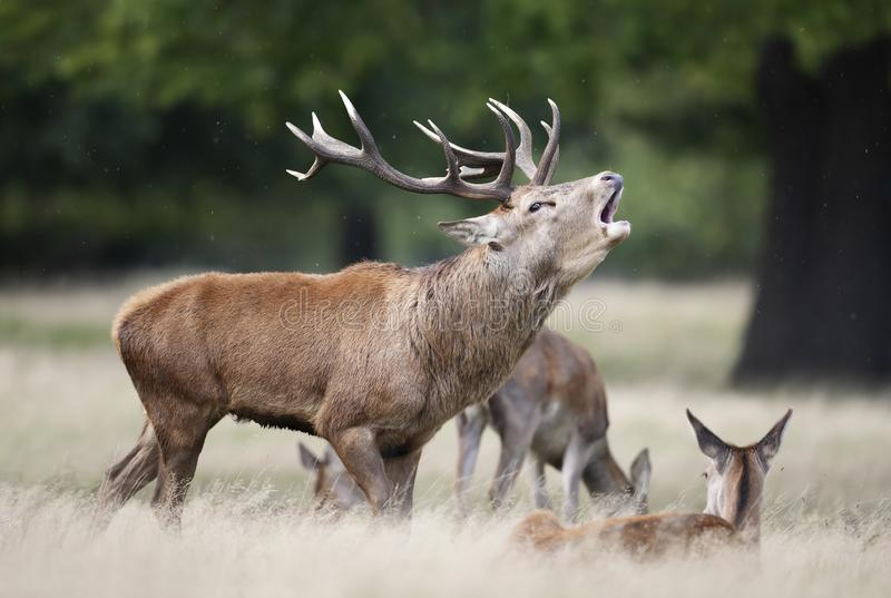 Red deer stag calling during rutting season in autumn royalty free stock photos