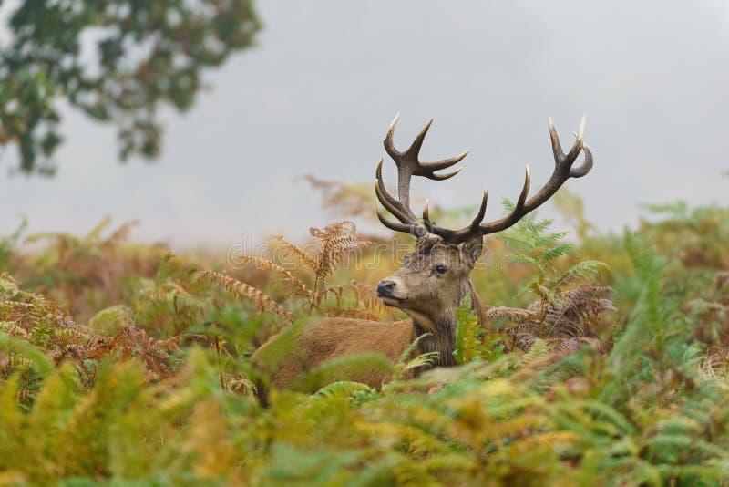 Red deer stag(Cervus elaphus), taget i Förenade kungariket royaltyfri fotografi