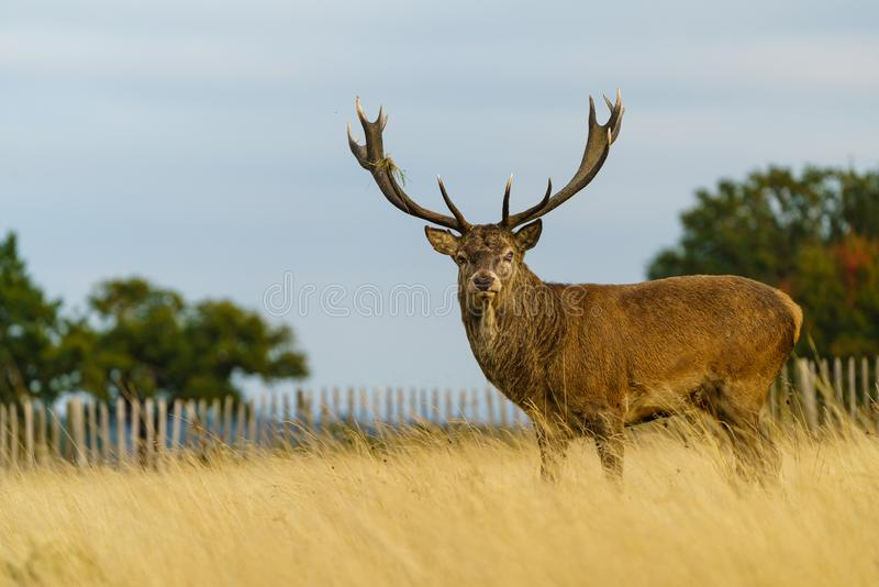 Red deer stag(Cervus elaphus), taken in United Kingdom. Red deer stag (Cervus elaphus), taken in United Kingdom, autumn, cervidae, mammal stock photography