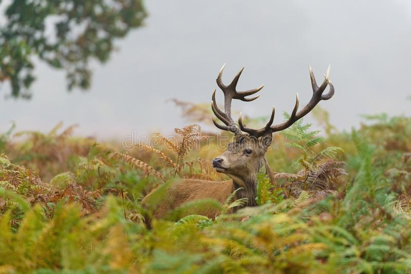 Red deer stag(Cervus elaphus), taken in United Kingdom. Red deer stag (Cervus elaphus), taken in United Kingdom, autumn, cervidae, mammal royalty free stock photography