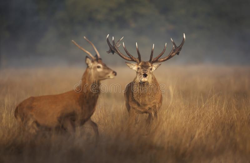 Red deer stag chasing a young buck away during rutting season in autumn royalty free stock image