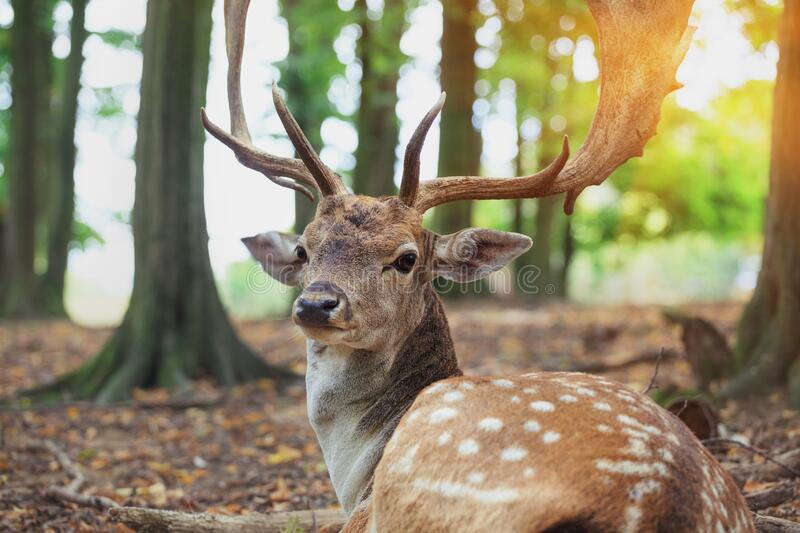 Red deer stag, close up, sunny morning forest. Portrait of red deer stag, close up, sunny morning forest stock photo