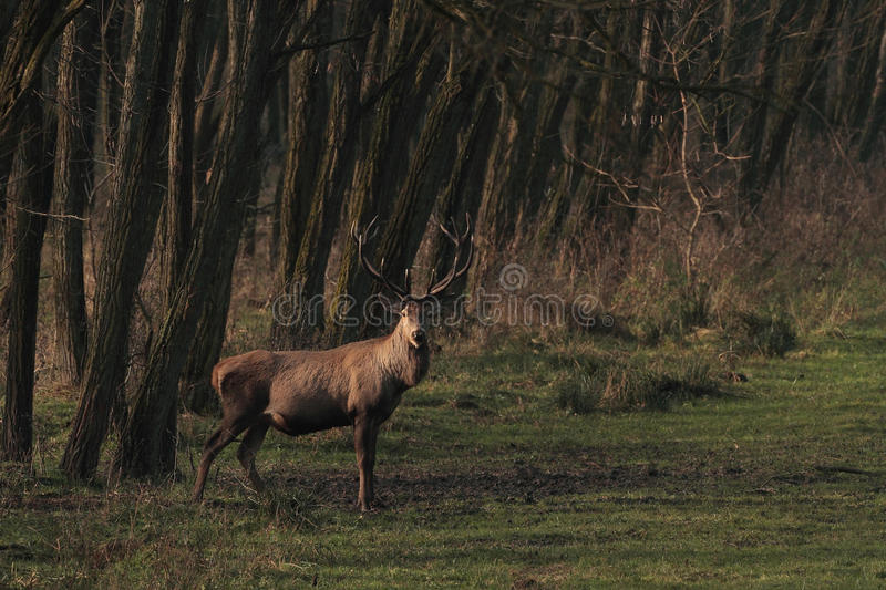 Red deer stag in forest royalty free stock photography