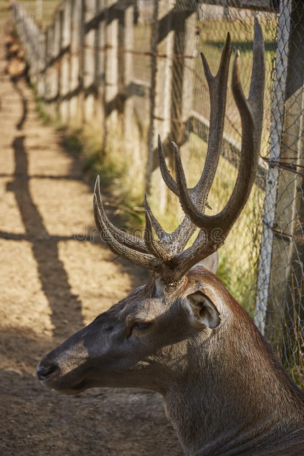 Free Red Deer Stag Head Royalty Free Stock Image - 59926546